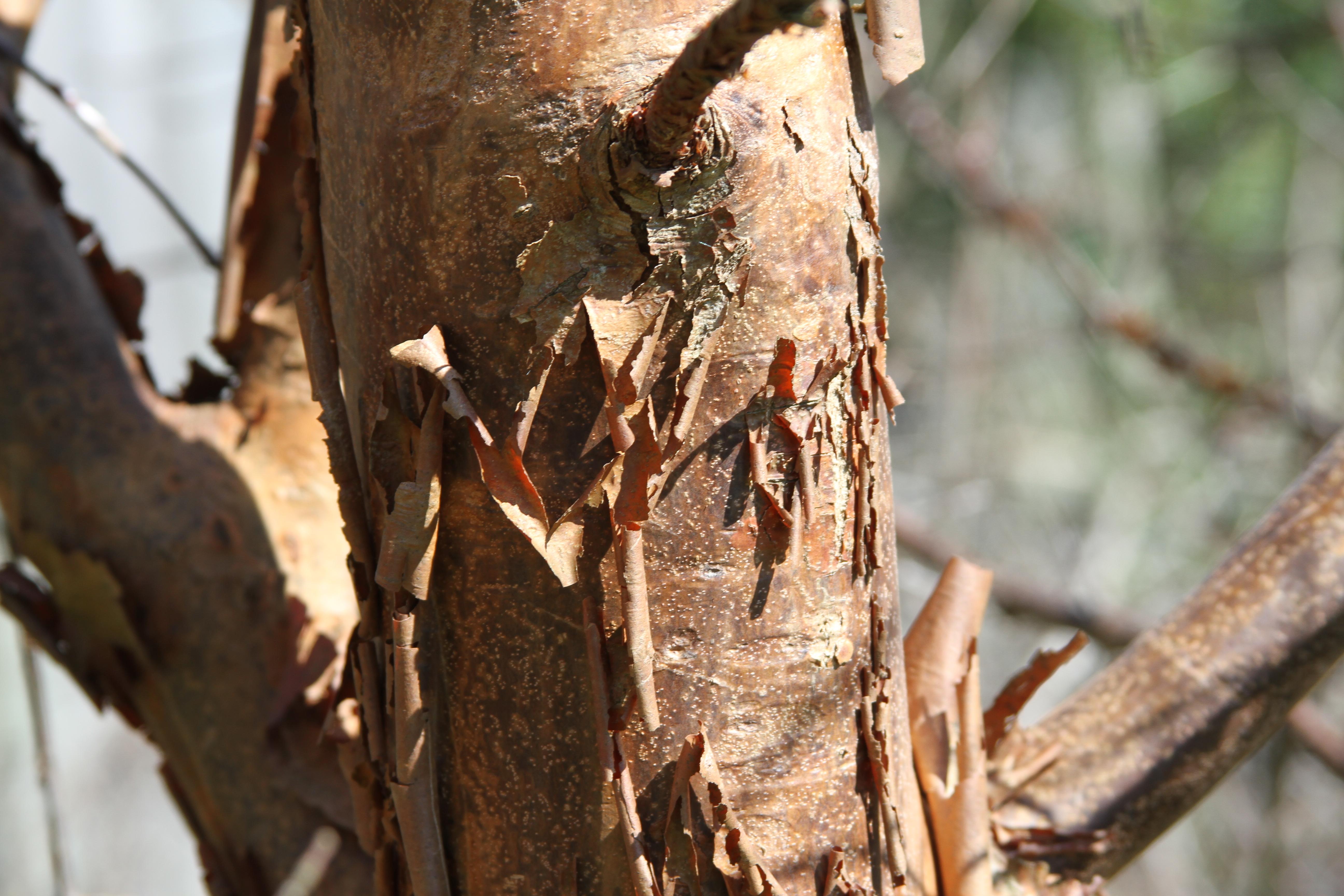 Paper Bark Maple Spring 2015