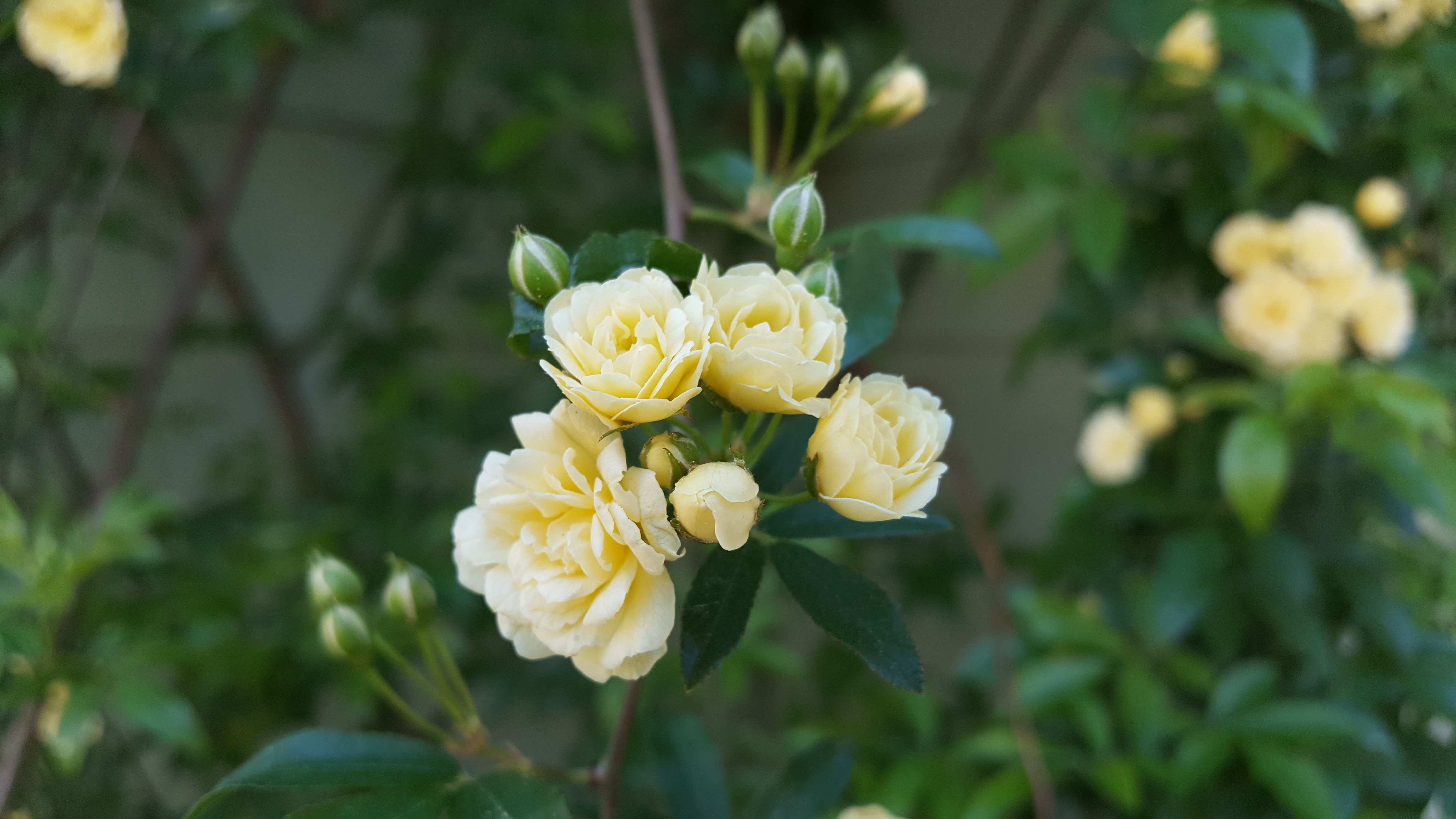 Lady Banks climbing rose, blooming March 29, 2016