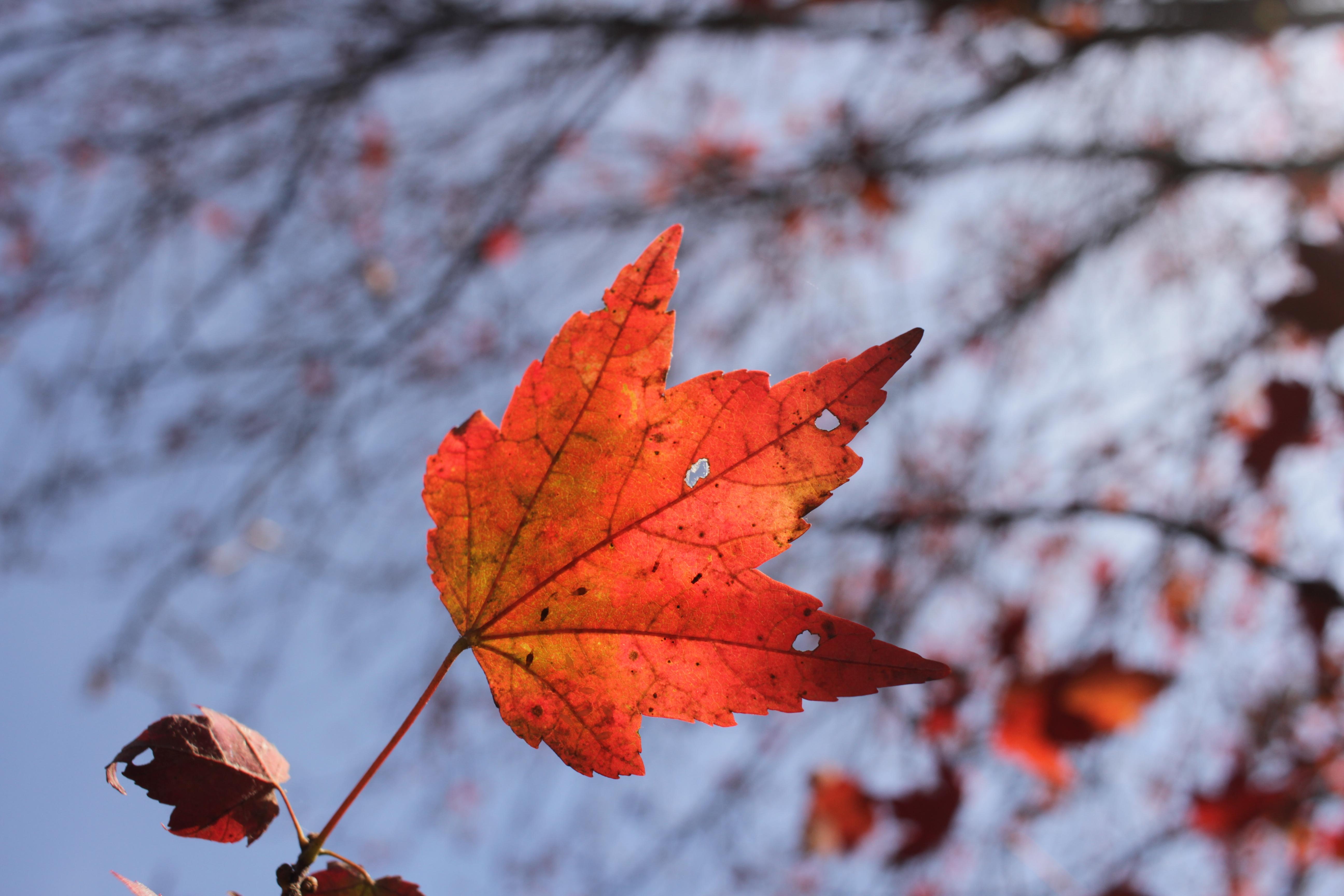 Autumn Flame Maple - Past Peak