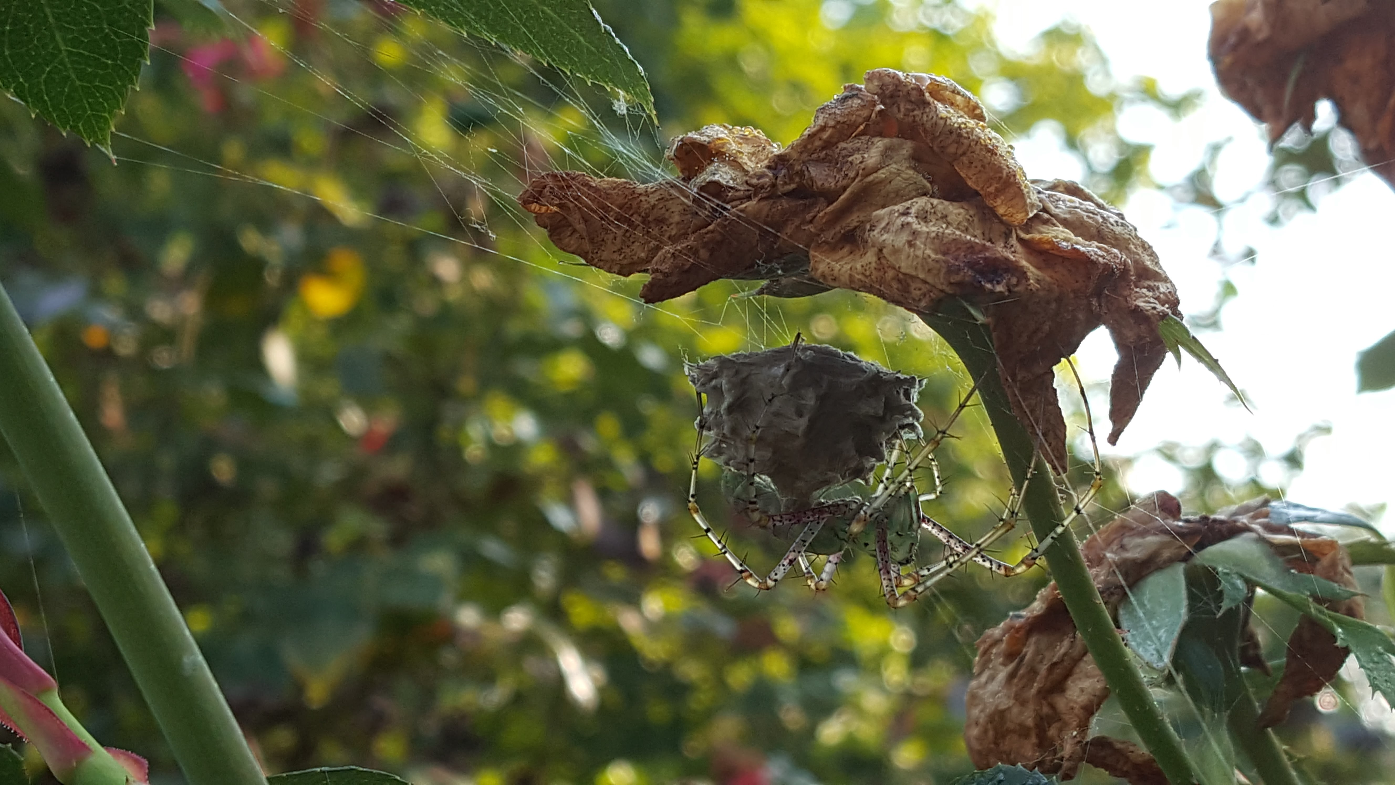 #2 Green Lynx Spider with Egg Sac, August 22, 2017